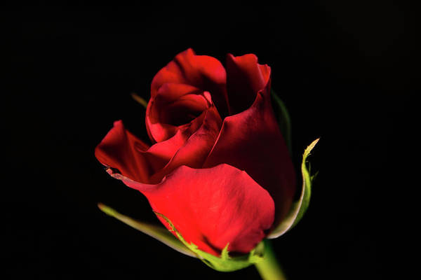 Photograph - Dark Rose by Jennifer Wick