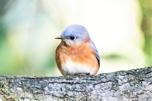 Wall Art - Photograph - Darling Eastern Bluebird by Mary Ann Artz