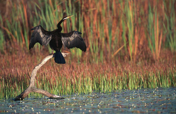 Anhinga Photograph - Darter Male Spreading His Wings To by Mitch Reardon