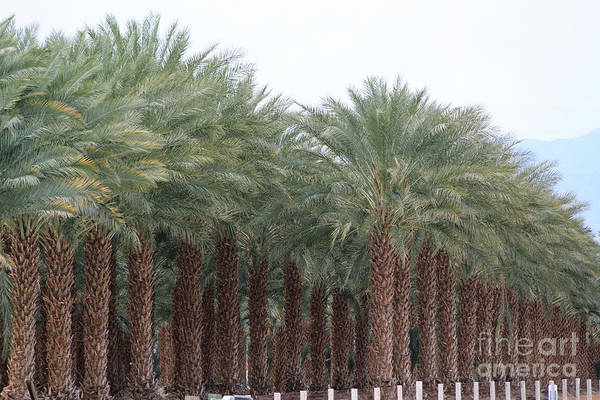Photograph - Date Palms Near Mecca California 3 by Colleen Cornelius