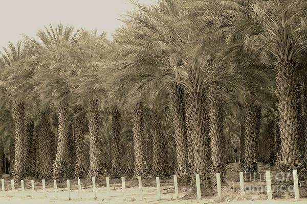 Photograph - Date Palms Near Mecca California In Sepia Tones by Colleen Cornelius