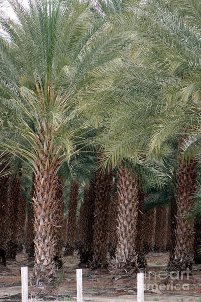 Photograph - Date Palms Near Mecca California Portrait by Colleen Cornelius