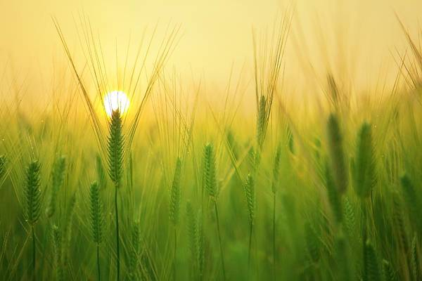 Photograph - Dawn At The Wheat Field by Top Wallpapers