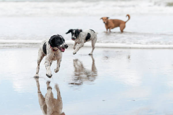 Cocker Spaniel Photograph - Day At The Beach by Dageldog