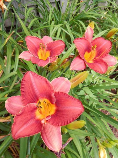 Wall Art - Digital Art - Day Lilies 8 by Charles Pegg