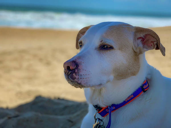 Photograph - Daydreaming Dog On The Beach by Lora J Wilson