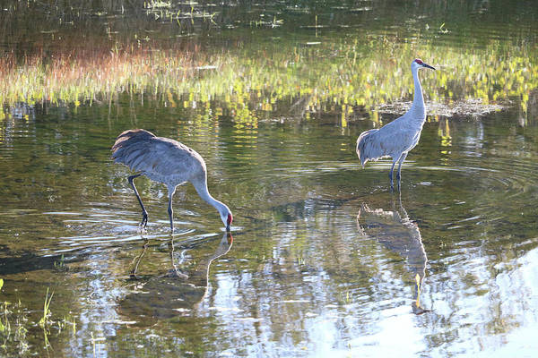 Wall Art - Photograph - Daydreaming Sandhills In Pond by Carol Groenen
