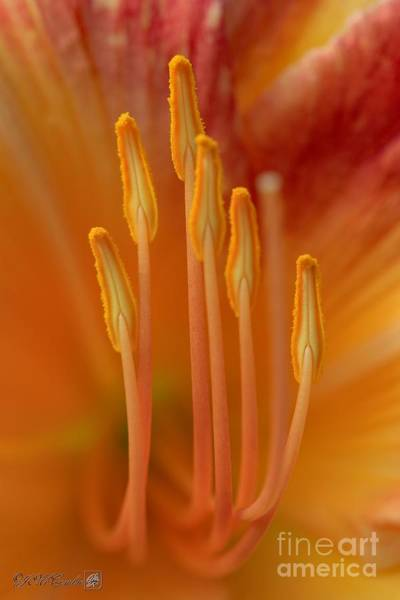 Wall Art - Photograph - Daylily Named Pink Stripes by J McCombie