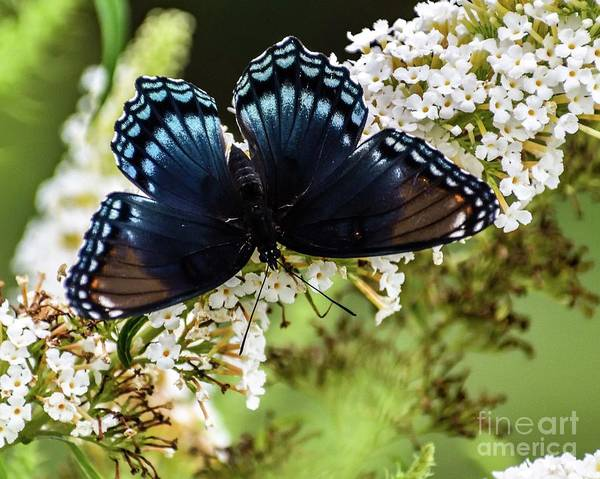 Dwayne Johnson Wall Art - Photograph - Dazzling Red-spotted Purple by Cindy Treger