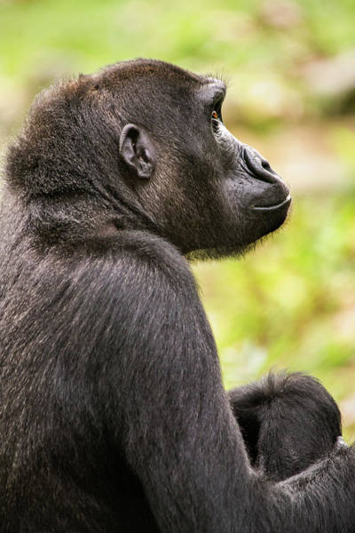 Photograph - Dc Gorilla Profile by Don Johnson