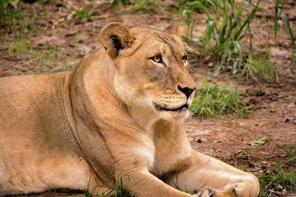 Photograph - Dc Zoo Female Lion by Don Johnson