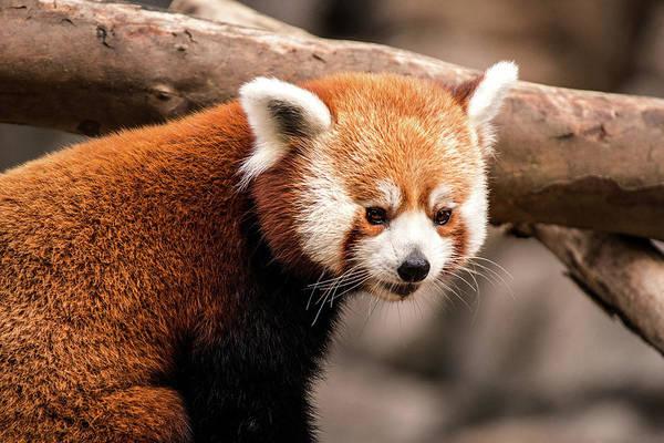 Photograph - Dc Zoo-red Panda by Don Johnson