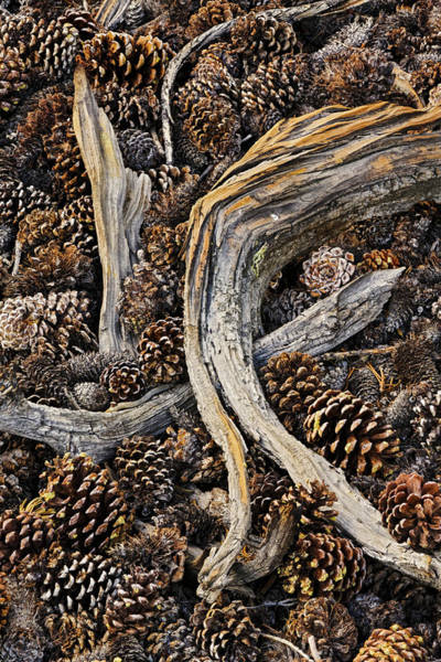 Wall Art - Photograph - Dead Branches And Pine Cones by Adam Jones