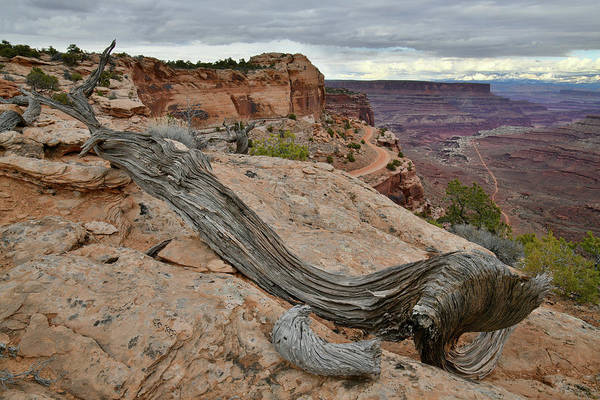 Photograph - Dead Juniper Above Shafer Canyon And Trail by Ray Mathis