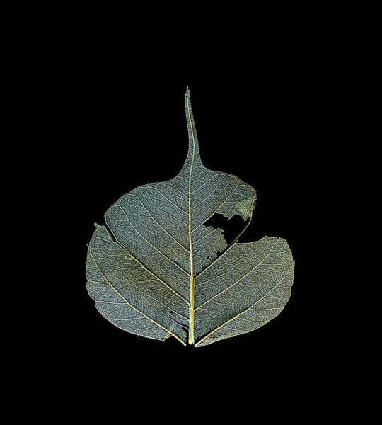 Photograph - Dead Leaf Against Black by Christopher Johnson