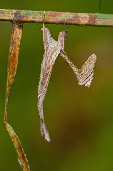 Wall Art - Photograph - Dead-leaf Mantis by Michael Lustbader