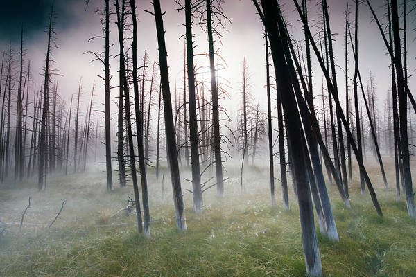 Wall Art - Photograph - Dead Trees In Forest, Dawn by Frank Krahmer