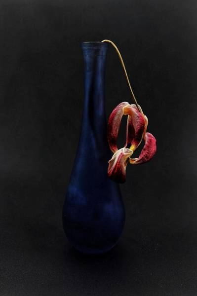 Photograph - Dead Tulip by John Rodrigues