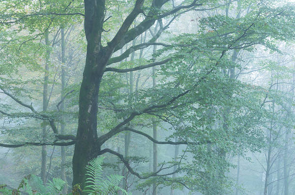 Deciduous Woodland In Mist, Grasmere Art Print