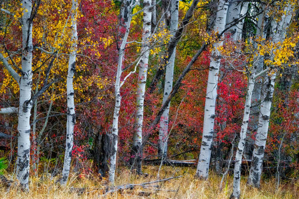 Photograph - Deep Aspens by Tom Gresham