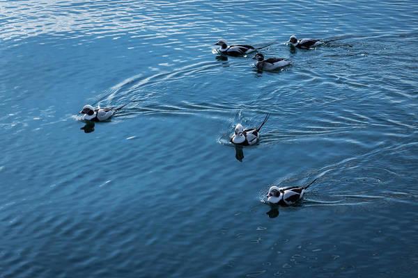 Photograph - Deep Blue Pursuit - Long Tailed Ducks On Silky Water by Georgia Mizuleva