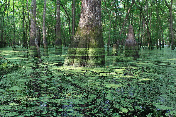 Bald Cypress Digital Art - Deep Green On Ebenezer Creek by Matt Richardson