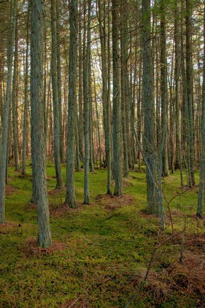 Photograph - Deep In The Cedar Swamp by Kristia Adams
