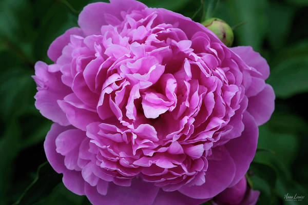 Photograph - Deep Pink Peony by Anna Louise