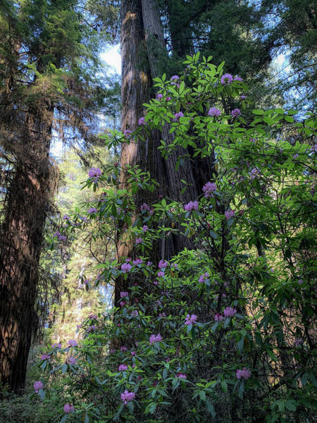 Wall Art - Photograph -  Pink Rhododendron In California Coast by Trice Jacobs