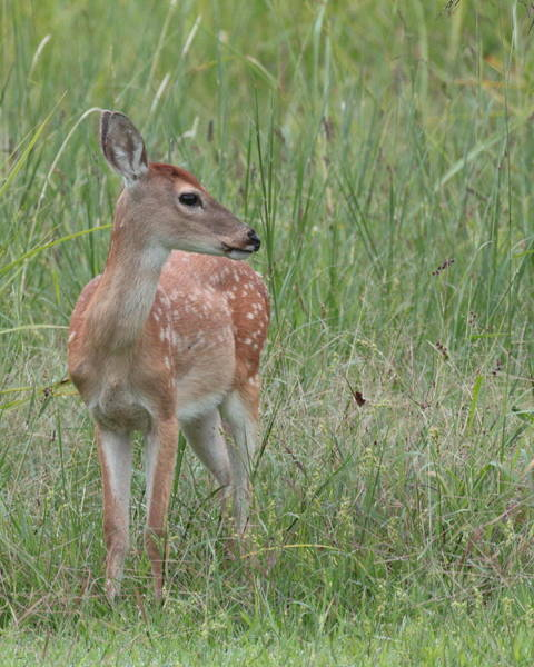 Photograph - Deer 2920 by John Moyer