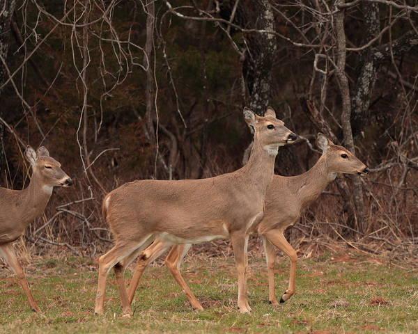 Photograph - Deer 5412 by John Moyer
