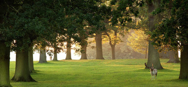 Stamford Photograph - Deer Amongst Oak Trees by Travelpix Ltd
