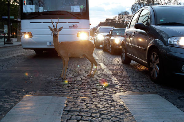 Out Of Context Photograph - Deer Caught In The Headlights by Chris Tobin