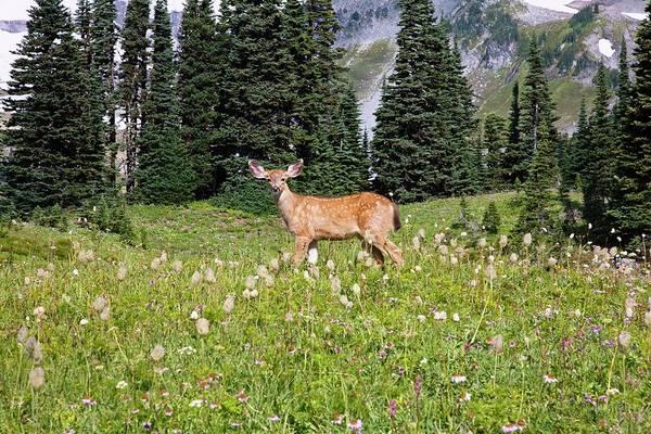 Deer Cervidae In Paradise Park In Mt Art Print