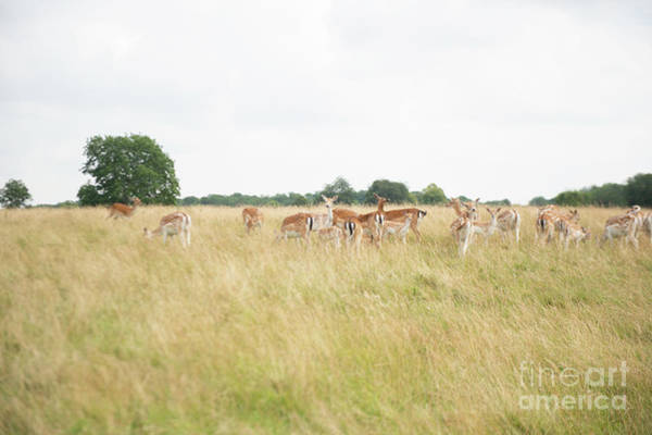 Photograph - Deer Collection 9  by Jenny Potter