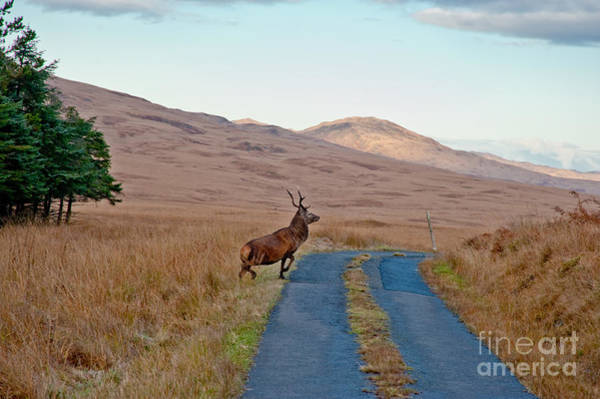Britain Photograph - Deer Crossing Road On Jura by Jaime Pharr