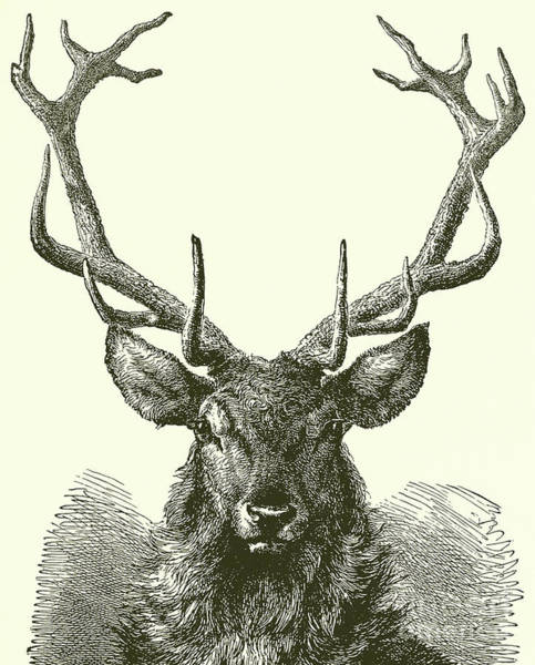 Antlers Drawing - Deer Head  by English School