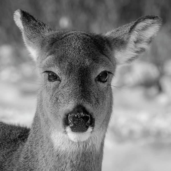Photograph - Deer In Black  White by Cathy Kovarik