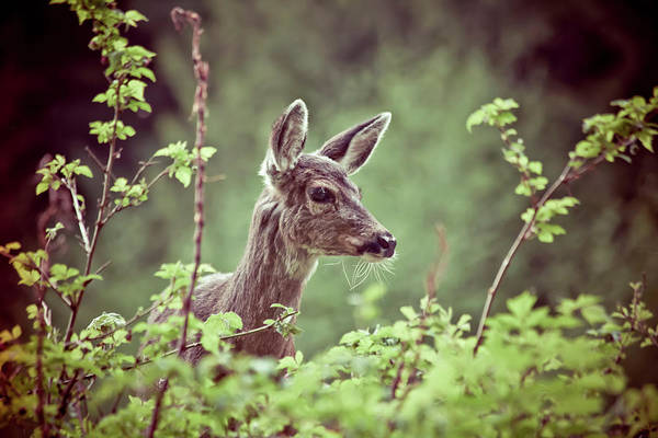 Fawn Photograph - Deer In Forest by Christopher Kimmel
