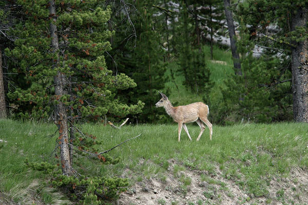 Photograph - Deer In Madison Valley by Ronnie and Frances Howard