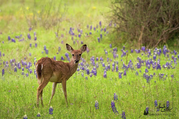 Deer In The Bluebonnets Art Print