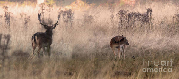 Photograph - Deer In The Grasses by Nigel Dudson