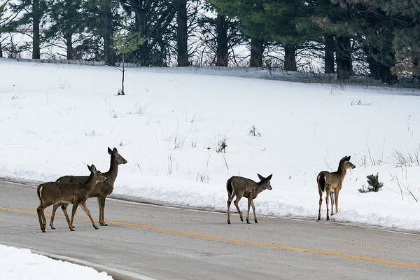 Photograph - Deer In The Road by Edward Peterson