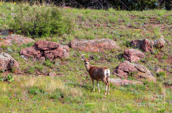 Photograph - Deer In The Rockies by Steve Krull
