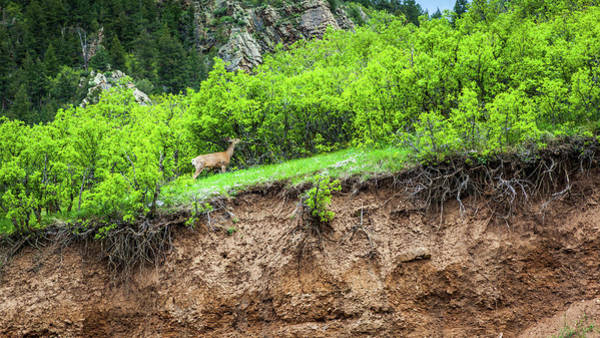 Photograph - Deer In Waterton Canyon, Colorado by Jeanette Fellows