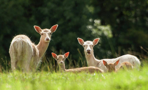 Fawn Photograph - Deer by ©malachy Coney