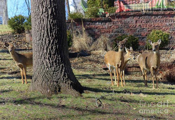 Photograph - Deer Neighbors by Karen Adams