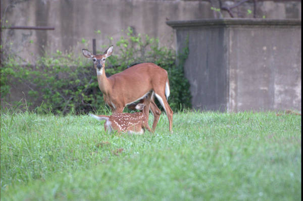 Photograph - Deer Nursing by Buddy Scott