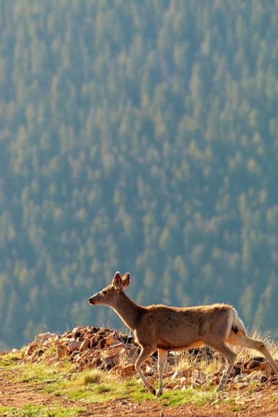 Photograph - Deer On A Warm Colorado Spring Morning by Steve Krull