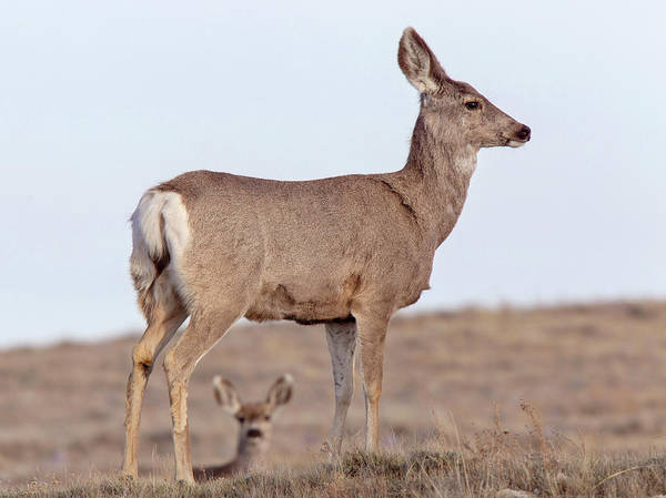 Wall Art - Photograph - Deer On Ridge by Mark Duffy